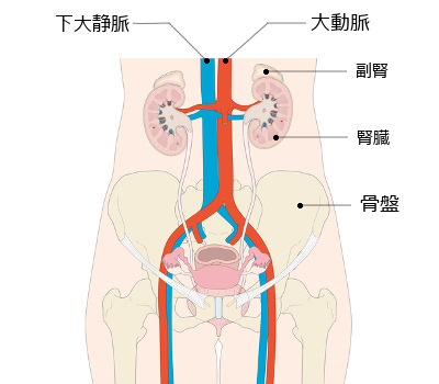 下大静脈の説明図